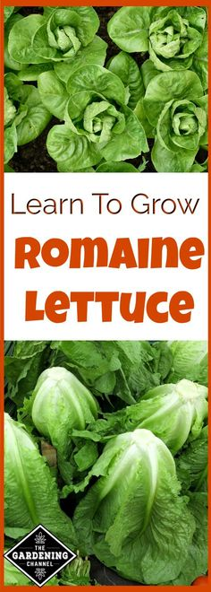 Lettuce Learn to Grow romaine lettuce in your garden. It's easy to grow and packed with vitamins.Learn to Grow romaine lettuce in your garden. It's easy to grow and packed with vitamins. Hydroponic Growing, Hydroponic Gardening, Hydroponics, Organic Gardening, Gardening Tips, Indoor Gardening, Gardening Zones, Gardening Services, Urban Gardening