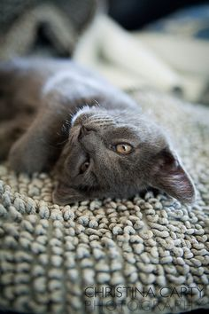 Russian blue sleeping