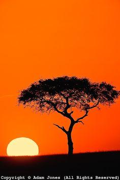Single Acacia tree shilhouetted at sunrise, Masai Mara Game Reserve, Kenya
