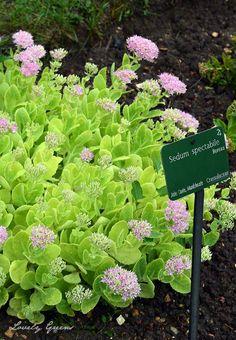 Creating a new Sedum spectabile plant - Lovely Greens