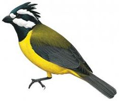 crested shriketit (Falcunculus frontatus) Length:  16 - 19 cm Habitat:  forests Region:  Australia