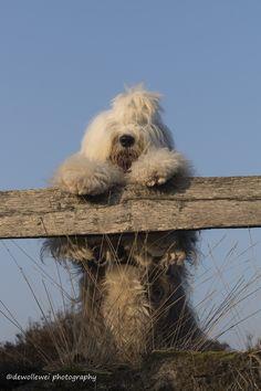 hi...   par dewollewei Portuguese Water Dog, Bearded Collie, Old English Sheepdog, Dog Cat, Cute Animals, Sheep Dogs, Bob, Pets, Doodles
