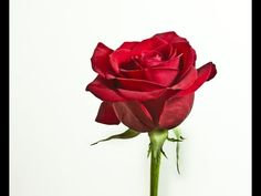 How To Make A Rose With Red Tissue - YouTube