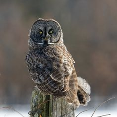 Juvenile Great Gray Owl sighted off Hwy 82 east of Mauston, Wisconsin, USA - Juneau County