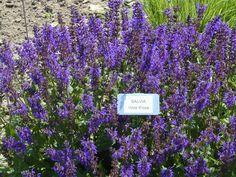 Salvia Viola Klose -front