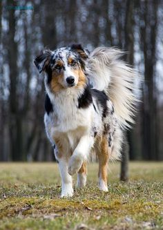 An Aussie with a tail looks so majestic. I love my patches with a tail. They also look a lot better with a tail, then one without no tail. australian shepherd – Doggerel Source by The post australian shepherd – Doggerel appeared first on Buckley Pets. Australian Shepherd Puppies, Aussie Dogs, Aussie Shepherd, Blue Merle Australian Shepherd, Mini Australian Shepherds, German Shepherd Mix, Cute Puppies, Dogs And Puppies, Cute Dogs