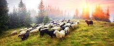 Black and White Sheep Jigsaw Puzzle