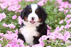 Love this Bernese Mountain dogs nose coloration. Bernese Mountain Dog Names, Mountain Dogs, Puppy Images, Cute Puppy Pictures, Cute Puppies, Dogs And Puppies, Doggies, Great Swiss Mountain Dog, Female Dog Names