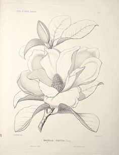 Flower Drawing Discover Magnolia grandiflora L. [as Magnolia foetida (L.] bull bay loblolly magnolia southern magnolia Sargent C. The Silva of North America vol. Flower Sketches, Drawing Sketches, Pencil Drawings, Art Drawings, Flower Drawings, Sketching, Flor Magnolia, Magnolia Flower, Botanical Drawings