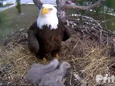 Southwest Florida Eagle Cam Update: Parent eagles, Ozzie and Harriet and two eaglets doing fine