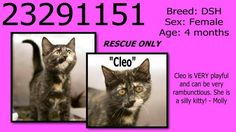 """URGENT! Urgent Animals at Fort Worth Animal Care and Control  **Fort Worth, TX**CURRENT STATUS: Behavior Urgent - Still at Shelter**  Reason for URGENT: Bite Animal Rescue Only  Animal ID: 23291151 Name: Cleo Breed: DSH Sex: Female Age: 4 months **  The ONLY way to tag an animal is by emailing fwaccfb@gmail.com with the Animal ID#.  To tag for ADOPTION/RESCUE: Please include the animal ID#, animal's """"current status"""", your full name, phone #, and approx pick up day/time."""