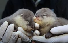 baby otters- so cute!