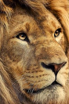 African Male Lion With a Strong Face.An African Male Lion With a Strong Face. Beautiful Lion, Animals Beautiful, Beautiful Horses, Lion Pictures, Animal Pictures, Animals And Pets, Cute Animals, Wild Animals, Baby Animals