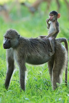 On Zambia Safari, young baboon hitching a ride horseback style Nature Animals, Animals And Pets, Baby Animals, Funny Animals, Cute Animals, Monkeys Animals, Safari Animals, Primates, Mammals