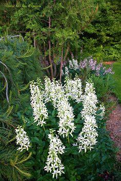 white cone shape plant flower, Dictamnus albus, Mose brinnande buske