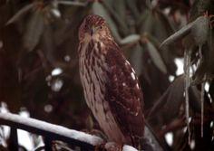 Hawk by Scott David, via 500px