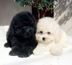 Poodles puppies black & white