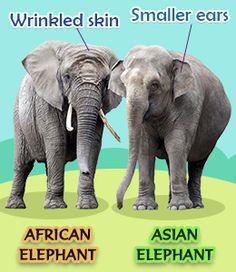 asian vs african elephants