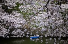 A couple in a boat passes beneath cherry blossom trees along Imperial Palace Chidorigafuchi moats in Tokyo, Japan, on April 6. The Japan Meteorological Agency announced that blossoms of cherry trees are fully bloomed in Tokyo.