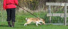 Aan de lijn trekken Corgi, Puppies, Animals, Cubs, Animaux, Animales, Corgis, Pup, Animal