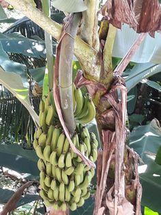 Ciorbă de legume - Sarmale cu ciuperci - Banane prăjite Jamaica, Curry, Fruit, Food, Banana, Fine Dining, Negril Jamaica, Curries, Essen