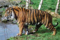 Celtic tiger!