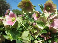 Will be picking some more of these Hellebore blooms again tomorrow  3-19-14 for a friend from High School .Melanie .who now lives in Texas..She's decorating to celebrate her mother in law's 95th birthday March 24th !!