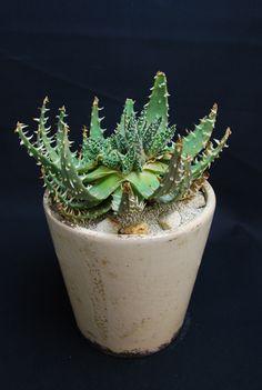 アロエ 白磁盃 Aloe pretoriensis