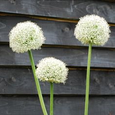 - Tuinplant -    Allium 'Mount Everest', mooie schutting!
