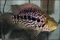 JAGUAR CICHLID 100m ( LARGE) Live Tropical Fish at Aquarist Classifieds