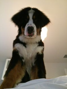 Maverick!! The BMD It looks like his ears are cut but he was on top of the bed looking down on me!!