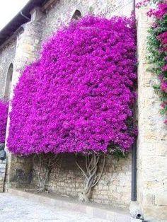 Makes you feel good new k beauty trends - Beauty Trends 2019 Garden Trees, Trees To Plant, Garden Plants, Bougainvillea Tree, Orquideas Cymbidium, Baumgarten, Flowering Trees, Tropical Garden, Topiary