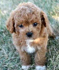 Cavapoo Adult & Puppy Pictures, Size, & Temperament