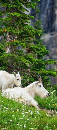 Mountain goats at Glacier National Park | visitglacierpark.com