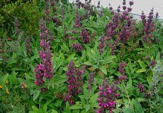 PlantFiles Pictures: Salvia Species, Crimson Sage, Hummingbird Sage, Pitcher Sage (Salvia spathacea) by AnniesAnnuals Tropical Landscaping, Outdoor Landscaping, Full Sun Flowers, Reading Garden, Pink Perennials, Mediterranean Plants, California Native Plants, Drought Tolerant Landscape, Shade Plants