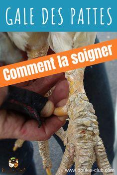 #GaleDesPattes #Poules La gale des pattes chez les poules : comment la soigner ? Tous nos  conseils sur le Blog Poule's Club.