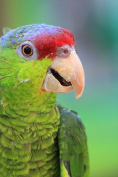 https://flic.kr/p/8uVXKW | Lilac Crowned Amazon Parrot | Taken at the Central Florida Zoo