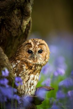 Tawny Owl in Bluebell Wood (Portrait) | by Old-Man-George