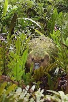 Happy Animals, Cute Funny Animals, Animals And Pets, Beautiful Birds, Animals Beautiful, Kakapo Parrot, Bb Beauty, Funny Parrots, Bird Gif