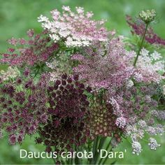 Excited to share the latest addition to my shop: Chocolate Queen Anne's Lace - Wild Carrot - Dara Ammi Seed Shade Flowers, All Flowers, Queen Anne's Lace Flowers, Annual Flowers, Beautiful Gardens, Beautiful Flowers, Cut Flower Garden, Flower Gardening, Small Flower Gardens