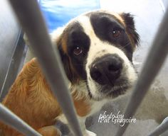 A4863114 My name is Beast. I am a 3 yr old female brown/white St. Bernard. I came to the shelter as a stray on August 4. available 8/9/15. located in bldg 4. Beast is not happy being here Baldwin Park shelter https://www.facebook.com/photo.php?fbid=1015986021746568&set=a.705235432821630&type=3&theater