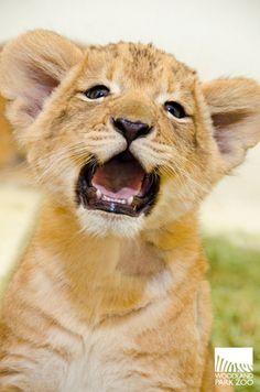 Am I #cute, or what? #lion #cubs