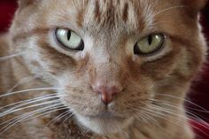 Ginger cat from Cambria California