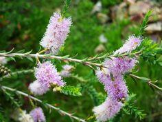 Australian Plants Society NSW - Melaleuca decussata, Cross-leaved Honey-myrtle