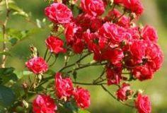 Jak pečovat o růže