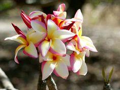 Plumeria Photos from Hawaii: Hawaiian Plumeria Photo # 30