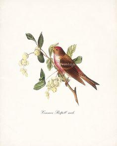 Birds of America Vintage Illustration  Common by HighStreetVintage