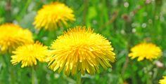 Tyto krásné žluté kvítky ukrývají v sobě neskutečnou sílu