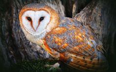 Lechuza común I (Tyto alba alba) Photos Hd, Owl Photos, Owl Wallpaper, Animal Wallpaper, Wallpaper Pictures, Owl Bird, Pet Birds, Bird Tree, Owl Facts For Kids