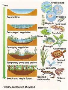 Succession Of Ponds Pond Pond Snails Ecological Succession